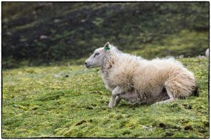 Icelandic sheep in highlands