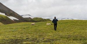 Helo pilot walking to icelandic sheep in trouble